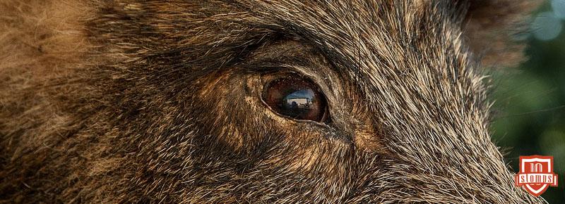 wildschwein-was-tun